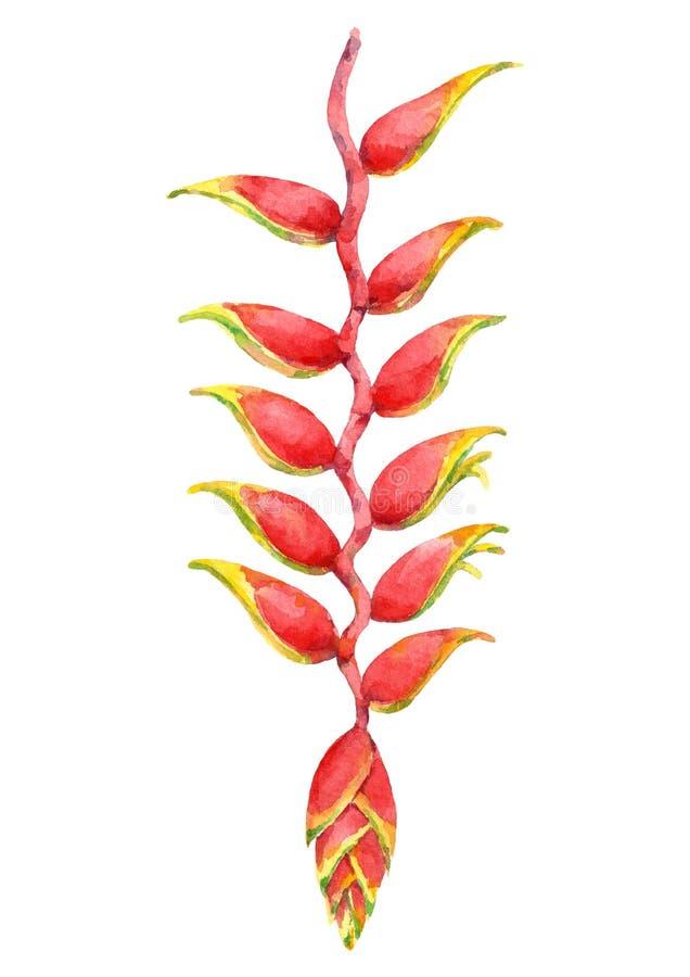 Aquarell schöne heliconia Blume Hand gezeichnete Abbildung stock abbildung