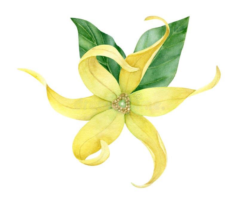 Aquarell ylang ylang Sammlung lizenzfreie stockfotografie