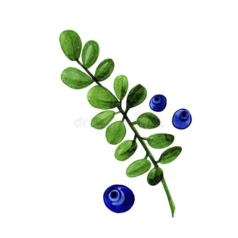 Aquarellblaubeeren verzweigen sich mit grünen Blättern und den Beeren, die im weißen Hintergrund lokalisiert werden lizenzfreie abbildung