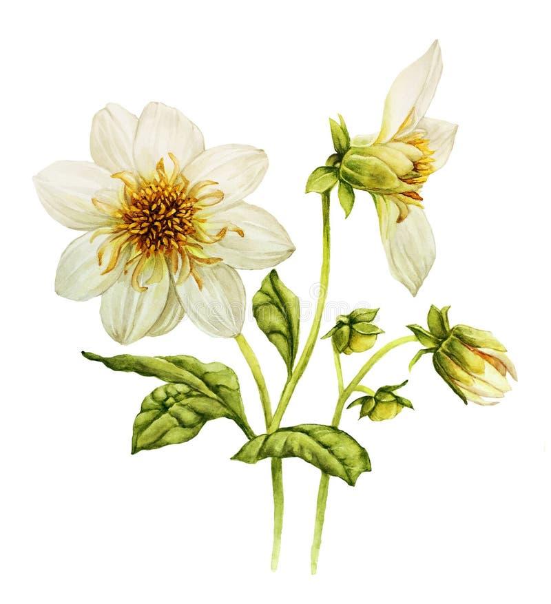 Aquarelle blanche de dahlia illustration libre de droits