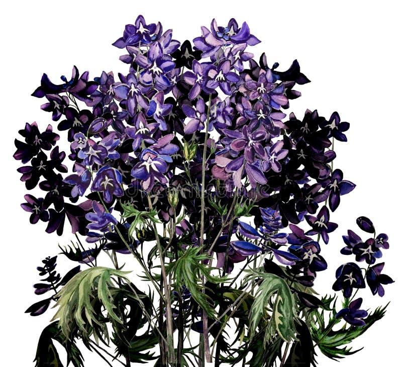 Aquarelle d'isolement par bouquet de floraison pourpre de fleurs de delphinium sur le fond blanc photos stock