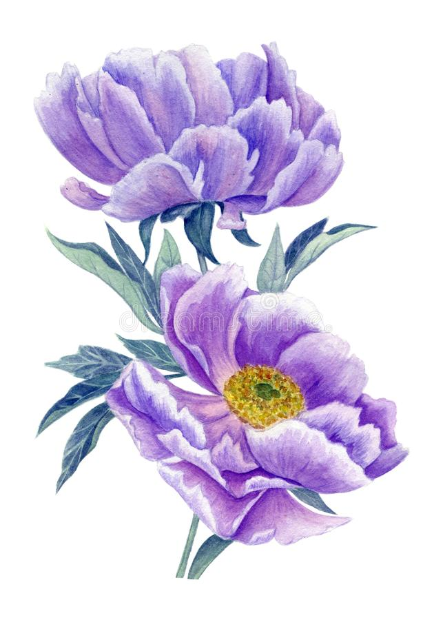 Aquarelle lilas de pivoines illustration stock