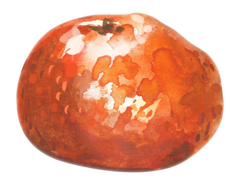 Aquarelle tirée par la main de mandarine, sur un fond blanc Illustration illustration libre de droits