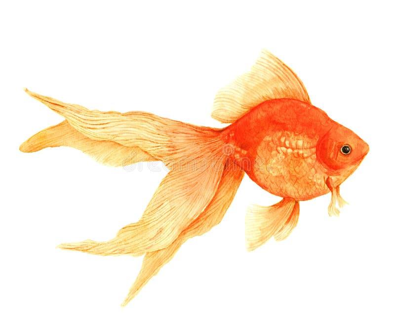 Aquarellgoldfisch lokalisiert lizenzfreie abbildung