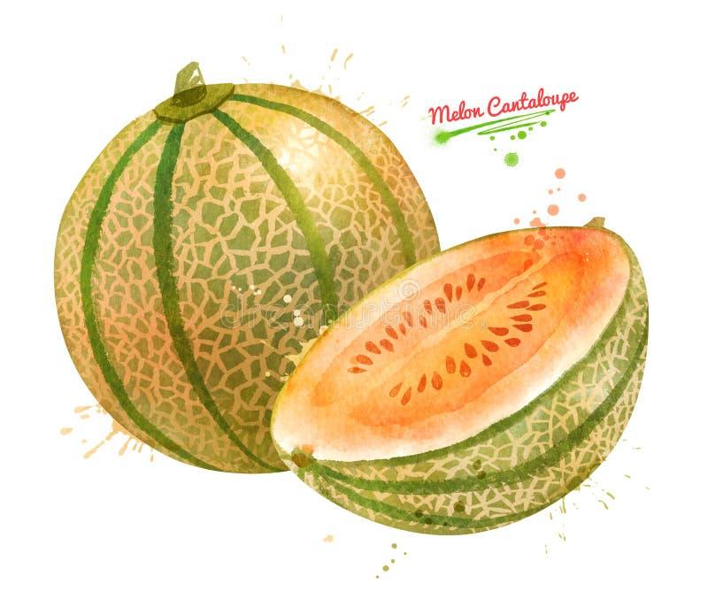 Aquarellillustration der Melonen-Kantalupe vektor abbildung