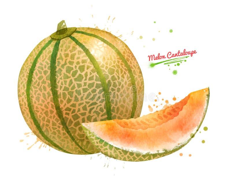 Aquarellillustration der Melonen-Kantalupe lizenzfreie abbildung