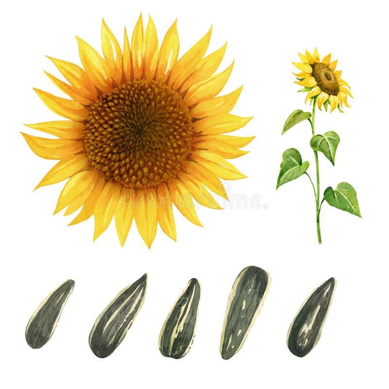 Aquarellillustration der Sonnenblume mit den Blättern und Samen lokalisiert auf weißem Hintergrund mit Beschneidungspfaden stockfotografie