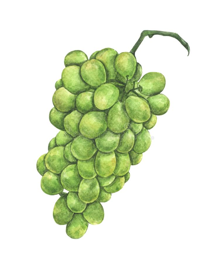 Aquarellmalerei der frischen grünen Traubenfrucht vektor abbildung