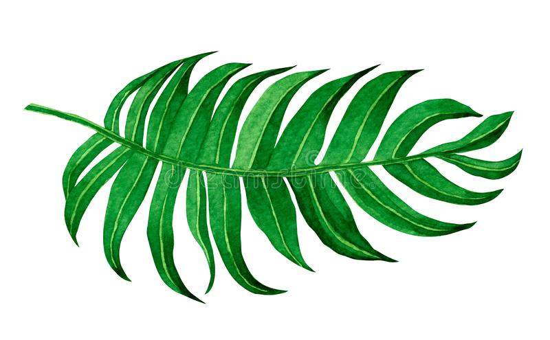 Aquarellmalerei-Grünurlaub lokalisiert auf weißem Hintergrund Handgemalte Illustration des Aquarells tropisch exotisches Blatt fü lizenzfreie abbildung