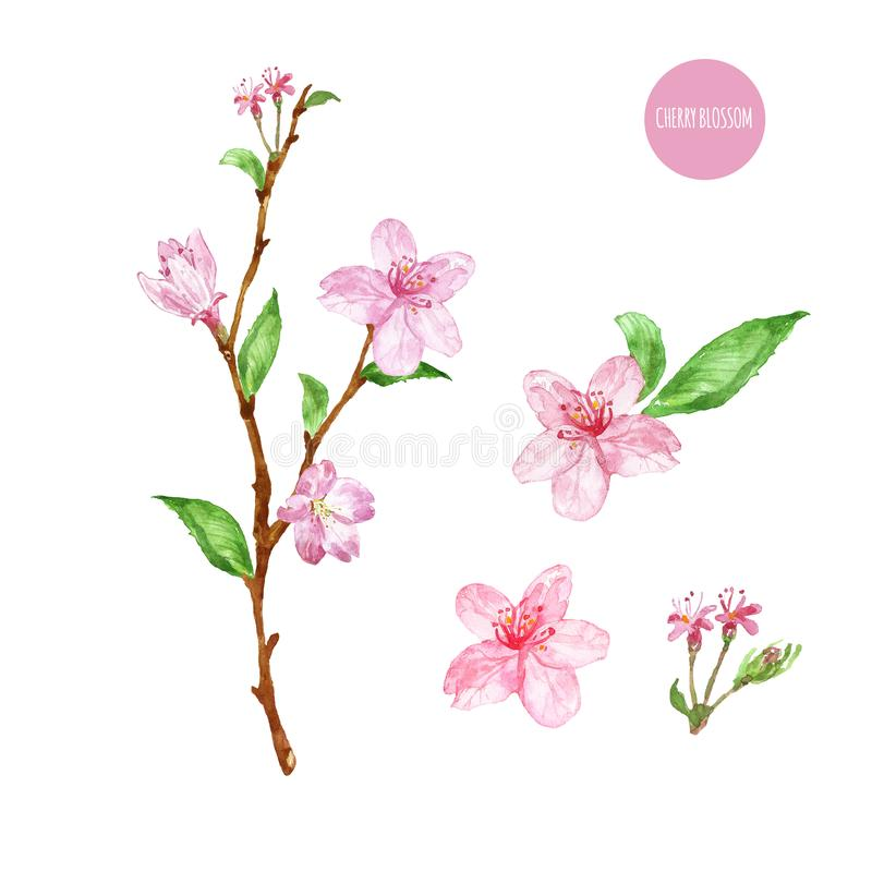 Aquarellniederlassung von Kirschblüte-Baum mit rosa Blumen und Blättern, lokalisiert auf weißem Hintergrund Handgemalte Fr lizenzfreie abbildung