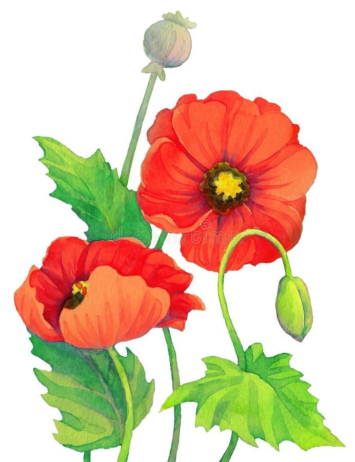 Aquarellrotmohnblumen Blumen-, Knospen- und Kapselmohnblumenkopf vektor abbildung