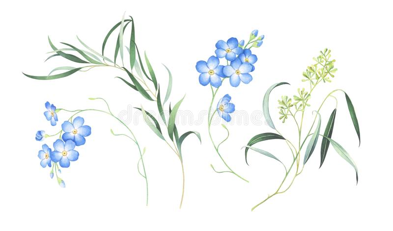 Aquarellsatz von vergessen mich die nicht Blumen und Eukalyptus, die auf weißem Hintergrund lokalisiert werden lizenzfreies stockbild