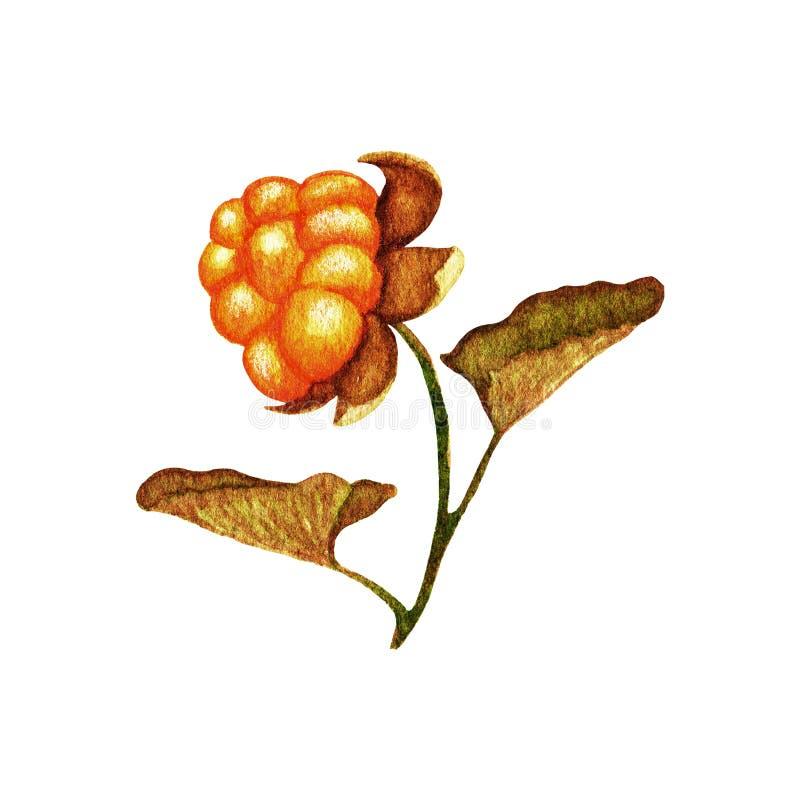Aquarellschellbeere mit Blättern Herbst- und Sommersaisonwaldbeeren Handgezogener botanischer Gegenstand für Entwurf an lokalisie vektor abbildung