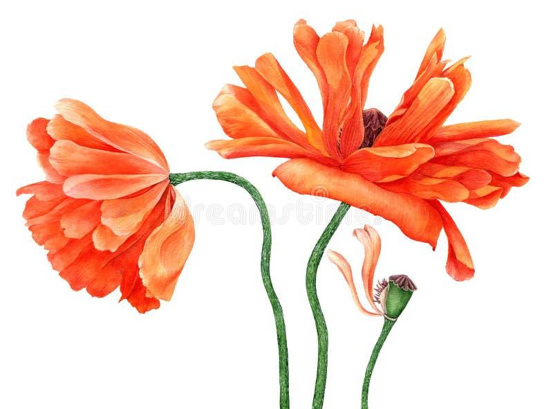 Aquarellzeichnungs-Mohnblumenblumen stockfoto