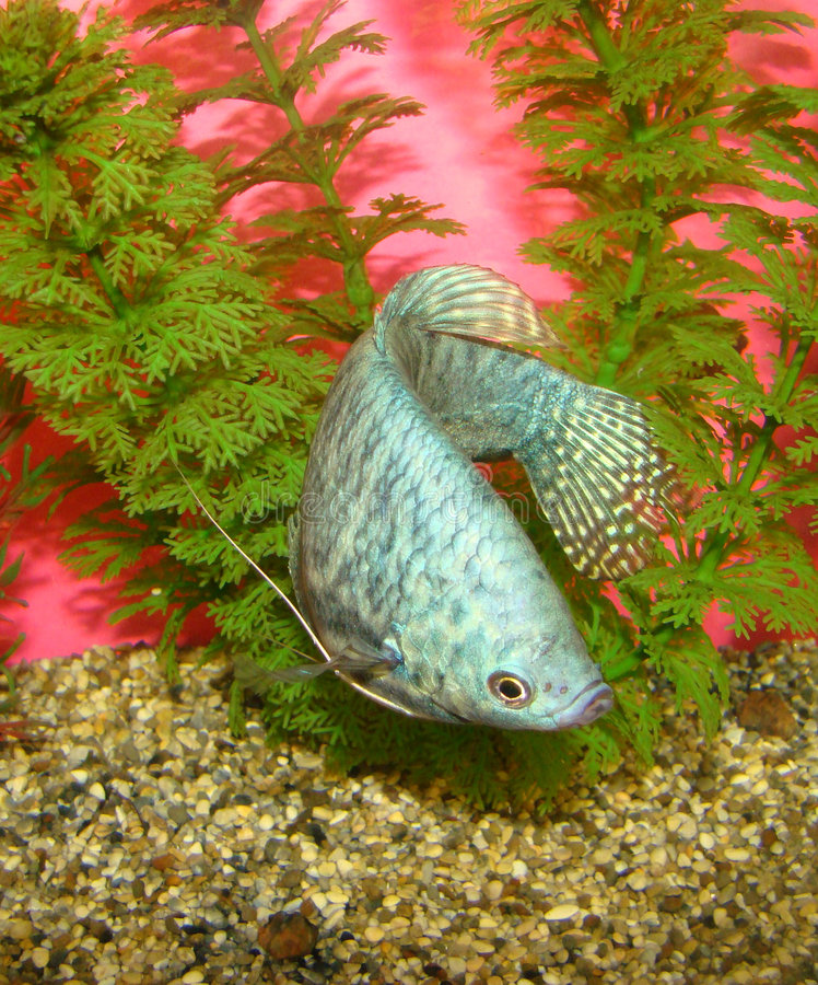Free Aquarian Fish Trichogaster Trichopterus Royalty Free Stock Photos - 5457598