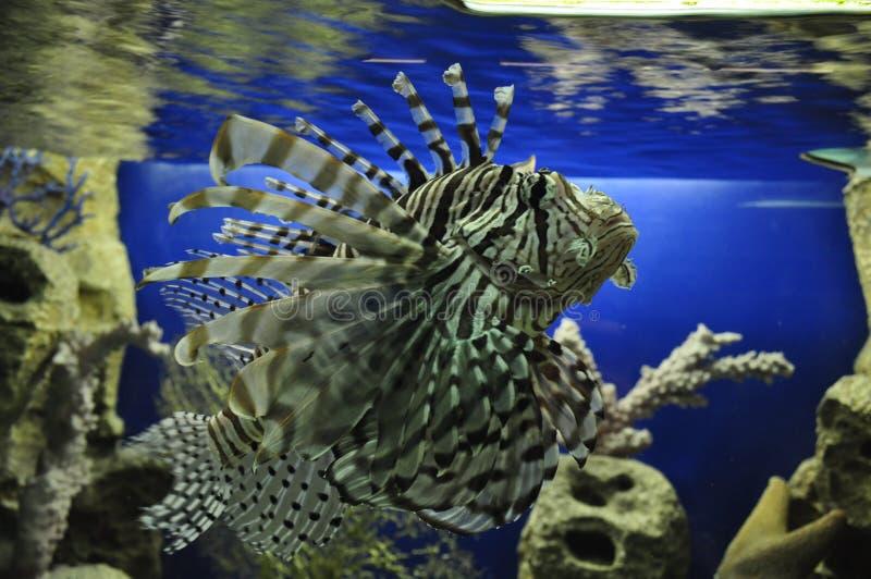 Aquarium in Adler, zebra fish lionfish stock photography