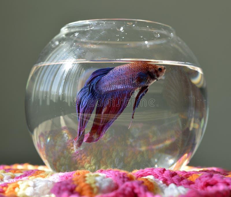Aquarium avec des poissons de betta photo stock image du for Aquarium avec poisson