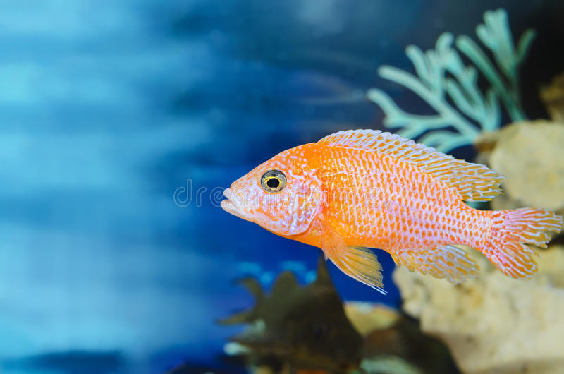 Aquarium blue background with red fish. Plenty of space for text royalty free stock photo