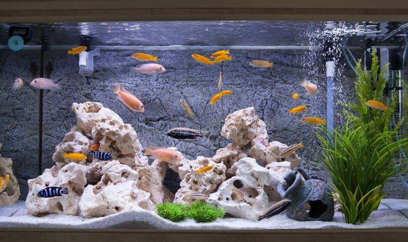 Aquarium with cichlids fish stock photography