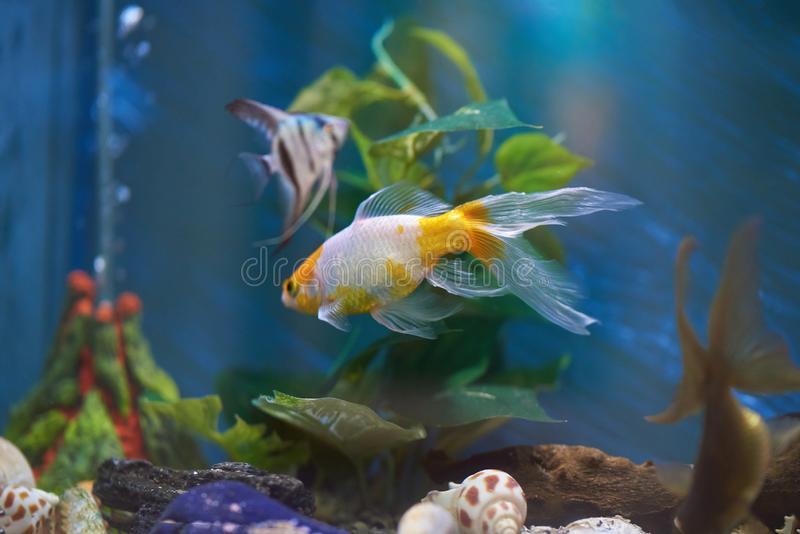 Aquarium with colorful fishes. In blue clear water stock photography