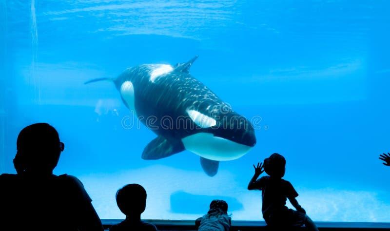 Aquarium d'épaulard photographie stock libre de droits
