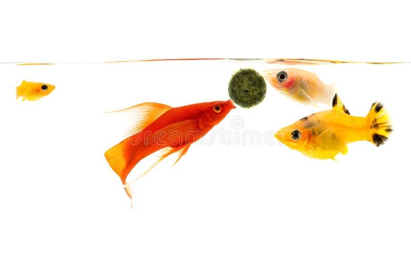 Aquarium d'aquarium avec de divers poissons, poisson rouge dessus avec des bulles photo stock