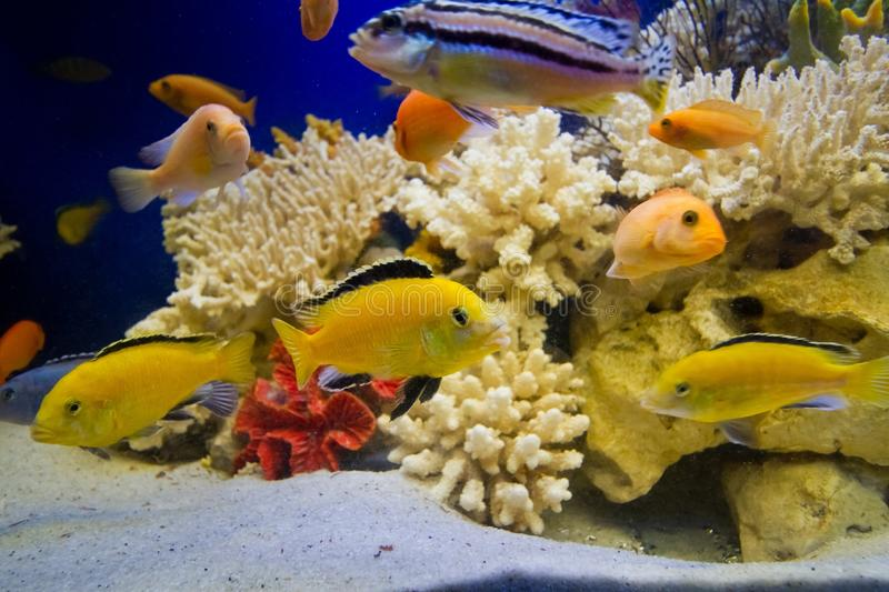 Aquarium with dead hard corals, white sand and lake Malawi cichlid fish, beautiful freshwater aqua design stock image