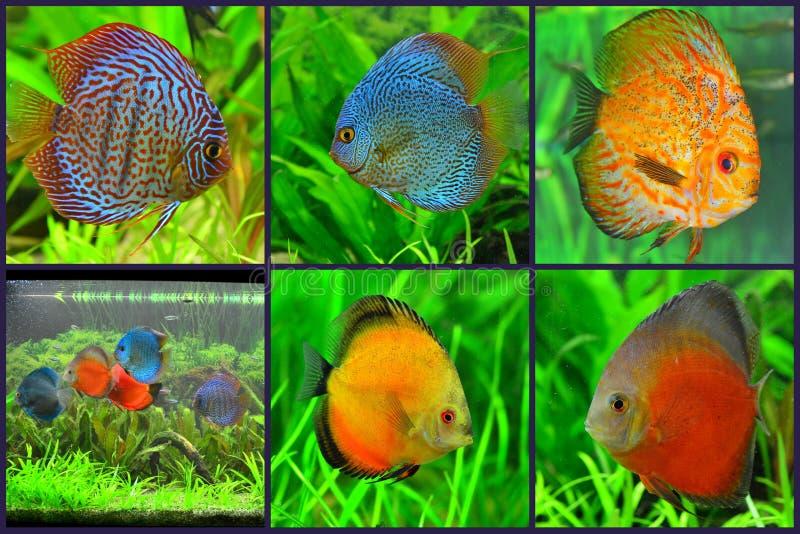 Aquarium discus fish varieties collage stock photo for Discus fish types