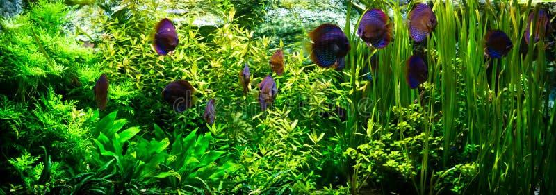 Aquarium with discus fishes. Swarm of discus tropical fishes swimming in an aquarium among underwater plants