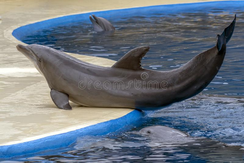 Aquarium dolphin during the show. Detail stock photo