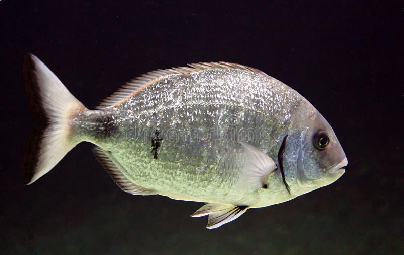 Aquarium-Fische 3 lizenzfreie stockfotos