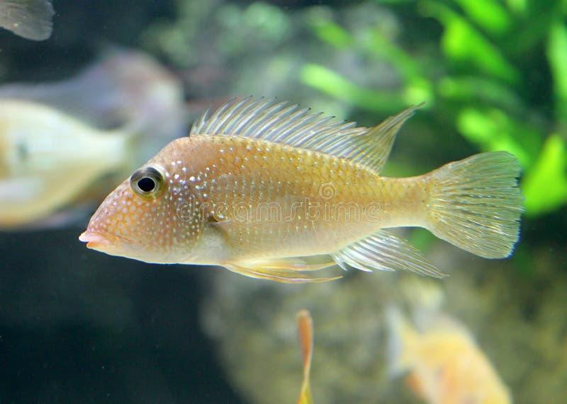 Aquarium-Fische 9   stockfotografie