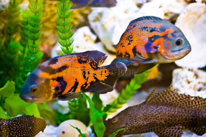 Aquarium fish royalty free stock images
