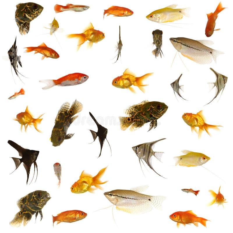 Download Aquarium fish stock image. Image of crowded, astronotus - 4186401