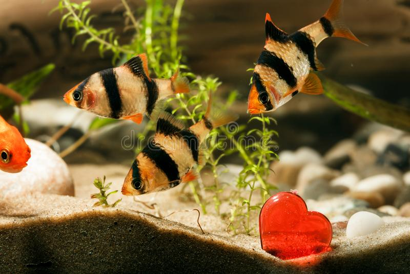 Aquarium fish with heart royalty free stock photography
