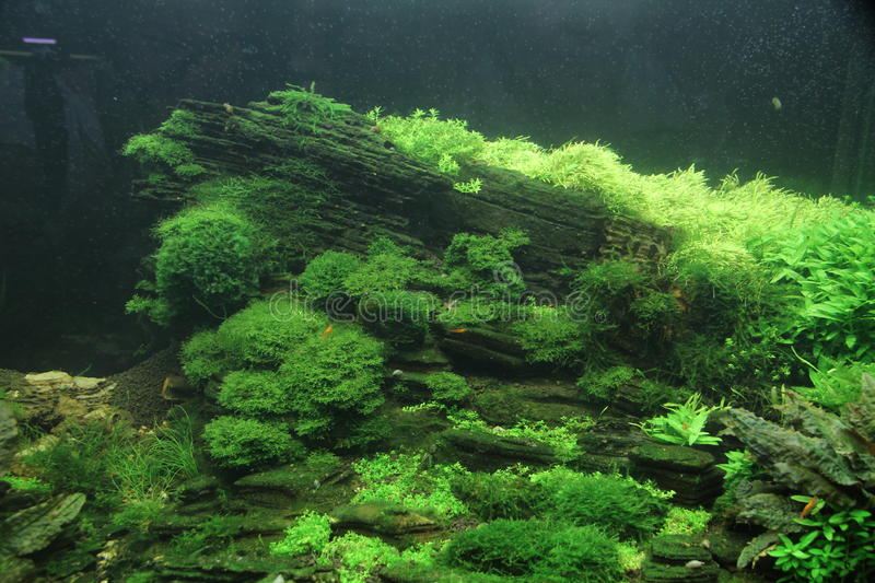 Aquarium fish in a beautiful green landscape. Flock of fish swim in an aquarium with a nice bottom, covered with green algae royalty free stock photo