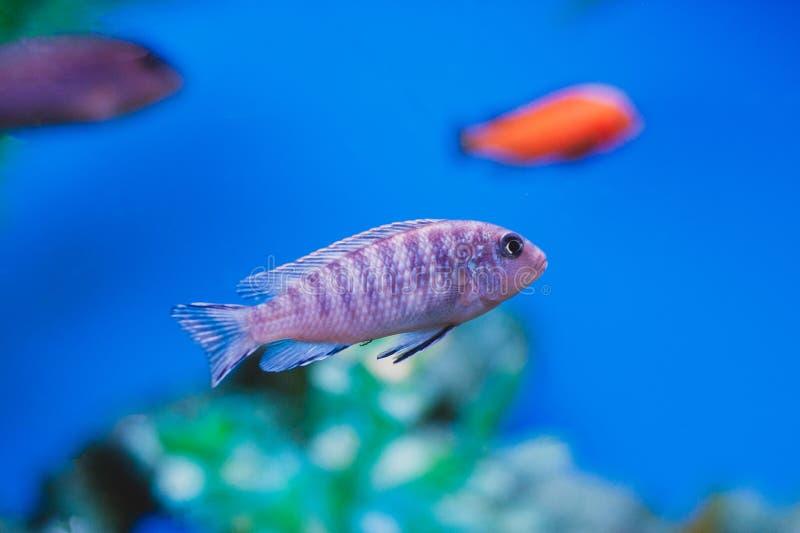 Aquarium fish - Cichlids. royalty free stock images