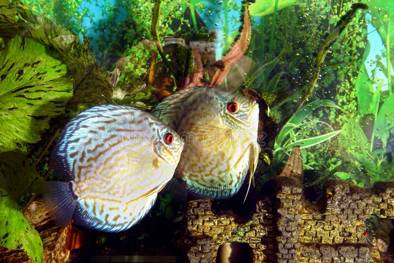 Aquarium fish Discus floating on a background of green plants. stock photo