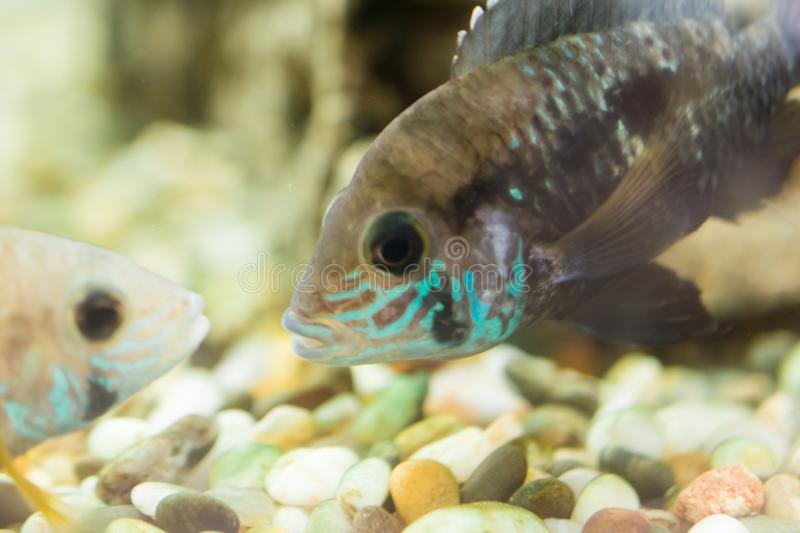 Aquarium Fish dwarf Cichlid. Apistogramma nijsseni is a species of cichlid fish, endemic to highly restricted local black water ha. Bitats in the southern Peru royalty free stock image