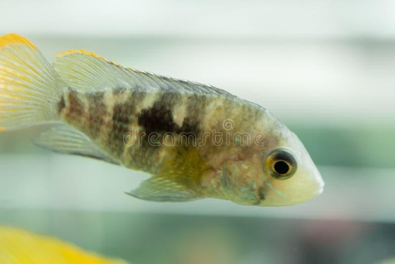 Aquarium Fish dwarf Cichlid. Apistogramma nijsseni is a species of cichlid fish, endemic to highly restricted local black water ha. Bitats in the southern Peru stock photos