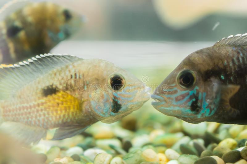 Aquarium Fish dwarf Cichlid. Apistogramma nijsseni is a species of cichlid fish, endemic to highly restricted local black water ha. Bitats in the southern Peru stock photography