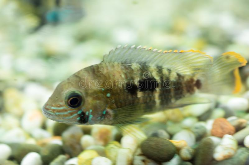 Aquarium Fish dwarf Cichlid. Apistogramma nijsseni is a species of cichlid fish, endemic to highly restricted local black water ha. Bitats in the southern Peru royalty free stock images