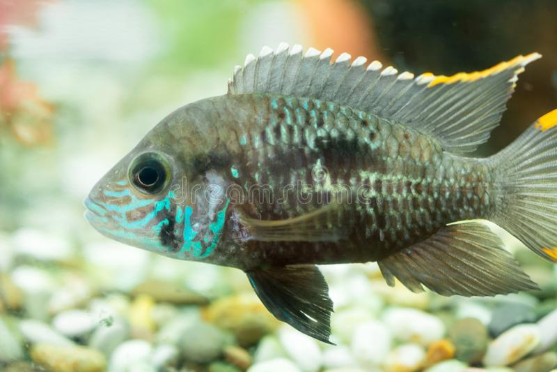 Aquarium Fish dwarf Cichlid. Apistogramma nijsseni is a species of cichlid fish, endemic to highly restricted local black water ha. Bitats in the southern Peru stock image