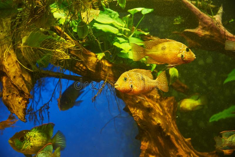 Aquarium fish of the family Cichlids. Against the background of algae and tree roots stock photography