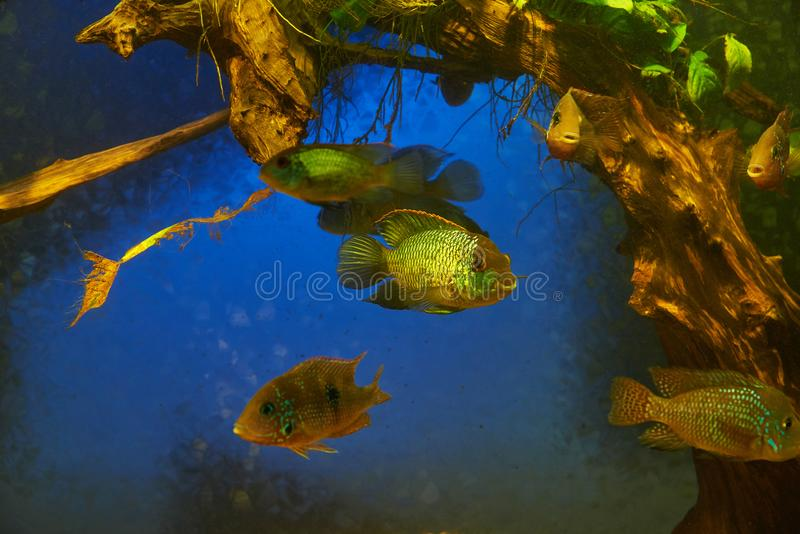 Aquarium fish of the family Cichlids. Against the background of algae and tree roots royalty free stock photography