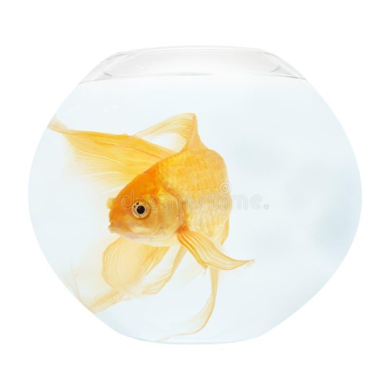 aquarium fish golden royaltyfri bild
