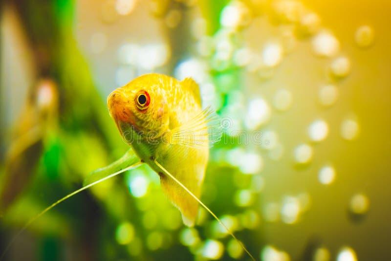 Aquarium Fish Golden gourami Trichogaster trichopterus Gold arkivfoton