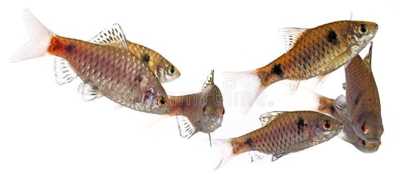 Aquarium fish Puntius padamya royalty free stock photos