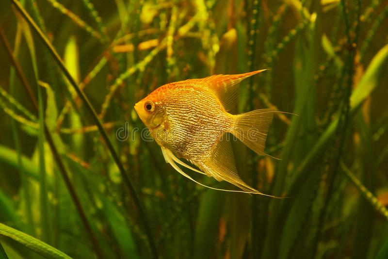 Aquarium fish Scalaria on a background of al. Aquarium fish Scalaria lat. Pterophyllum on a background of algae royalty free stock photos