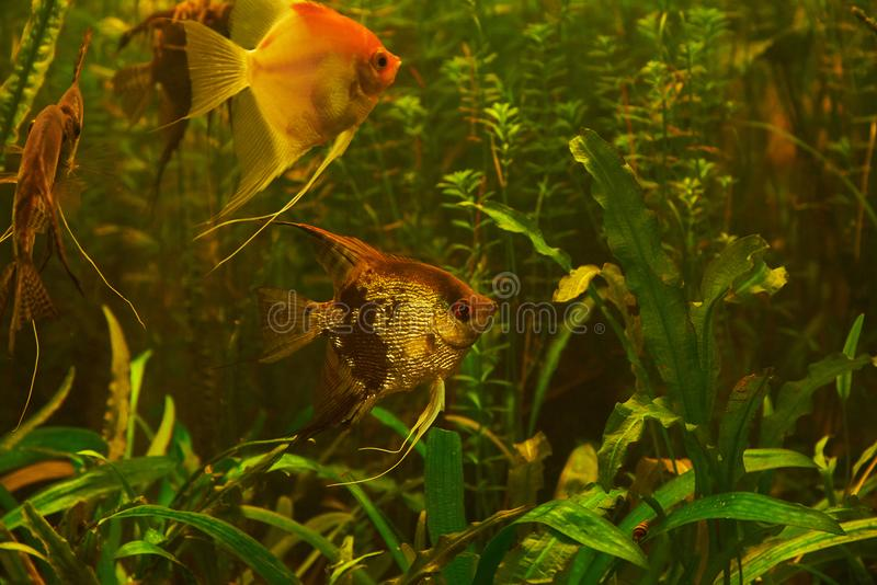 Aquarium fish Scalia on a background of alga. Aquarium fish Scalia lat. Pterophyllum on a background of algae royalty free stock image